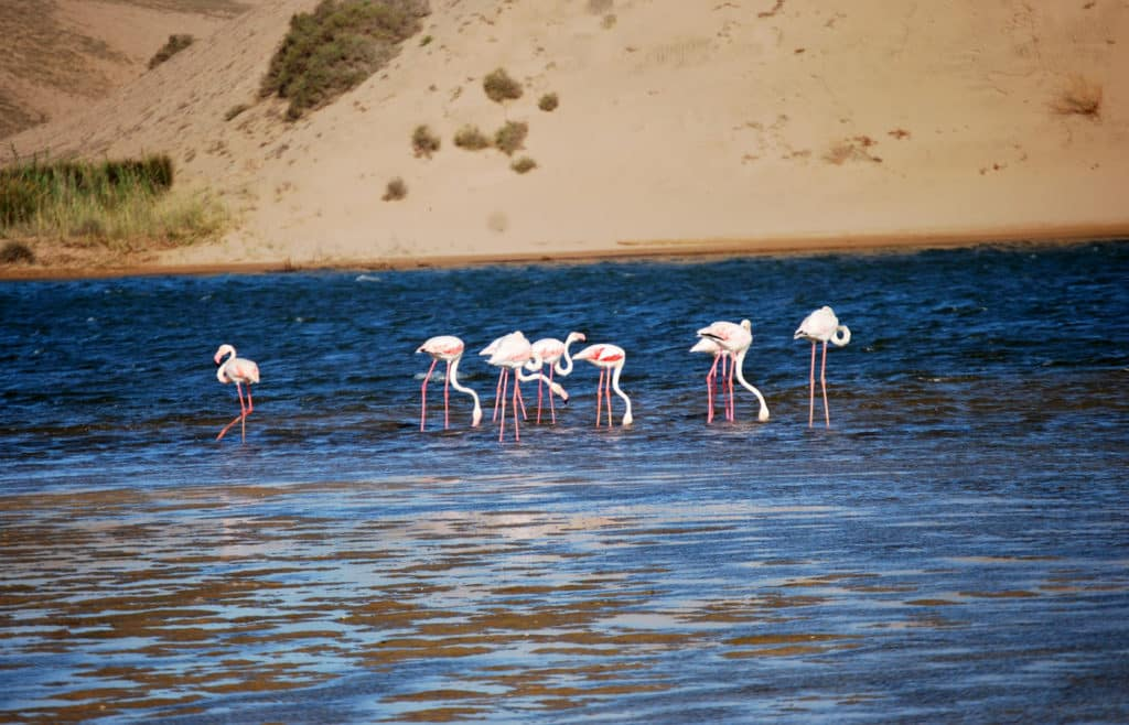 Flamingo in Souss Massa National Park